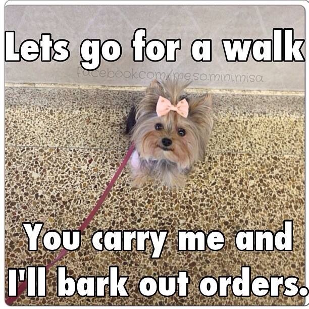 Any time I try to walk my Teacup Yorkie, I always end up carrying her! Lol