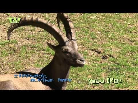 Steinbock - Steenbok - Capricorn with newborns - YouTube