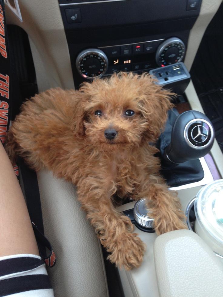 Micro teacup poodle! 2lbs!! #Rhemington | Love | Pinterest ...
