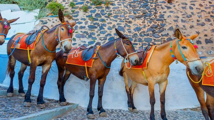 The mules on Santorini island, Greece  www.callgreece.gr