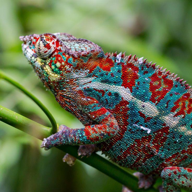107 Best Chameleons Images On Pinterest