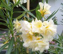 OLEANDER HAUS  Nerium Oleander Luteum Plenum