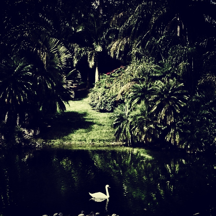 Lonely swan at Pinecrest Gardens
