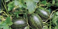 How to Pollinate a Watermelon Plant | eHow