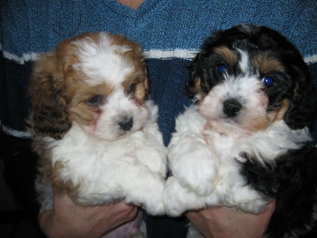 Cavachon puppies. Adorable! – future