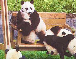 pandaswing