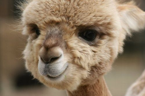 A baby alpaca, a fluff ball of a face!