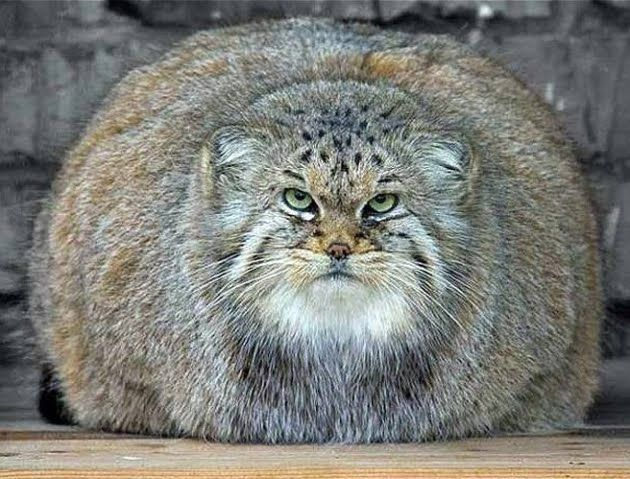 Biggest Cat In The World Guinness 2016 the biggest house cat in world - best cat 2017