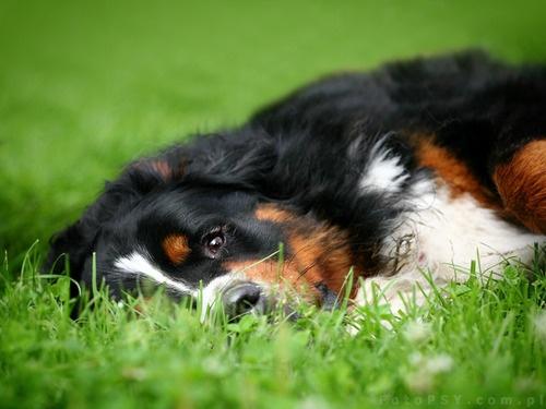 Bernese mountain dog by ~ankaszklanka  Bernese Mountain Dog
