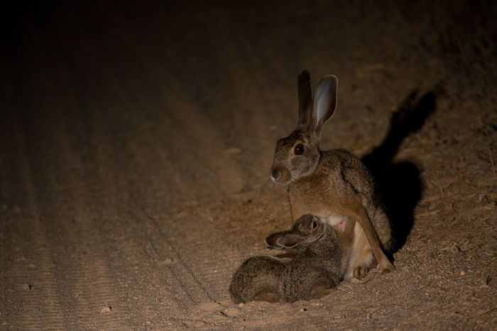 Two scrub hare leverets suckle in as dusk turns to night. Photograph by Andrea Campbell.