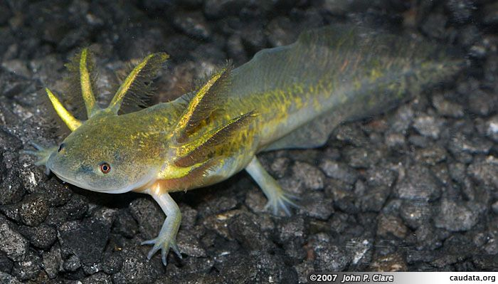 Leucistic axolotl enigma pure hearted pinterest for Mexican walking fish for sale