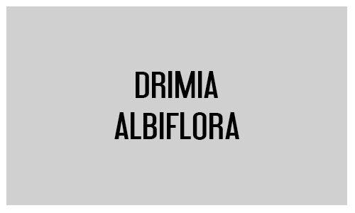 Drimia albiflora