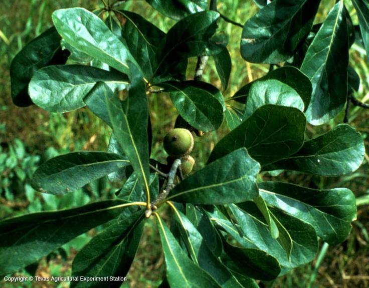 Best pinecones acorns images on pinterest winter