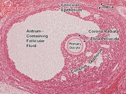 Image result for seminal vesicle histology labeled