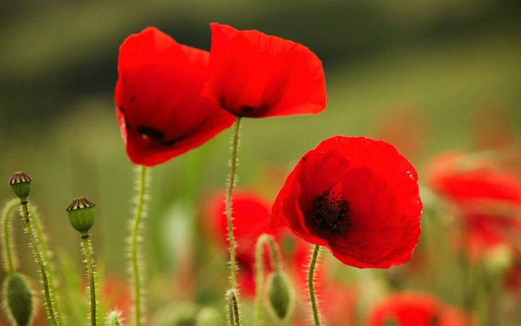 Poppies Red Flowers Wallpaper for desktop and mobile in high resolution download. We have best collection of Red Poppy Garden Flower Wallpaper hd widescreen