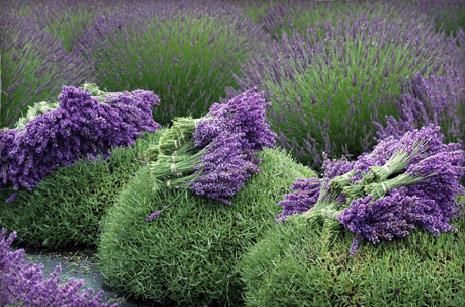 Lavender bunches tied and placed on top of the bushes, awaiting collection.