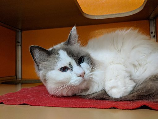 Elyria Oh Ragamuffin Meet Noelle A Cat For Adoption