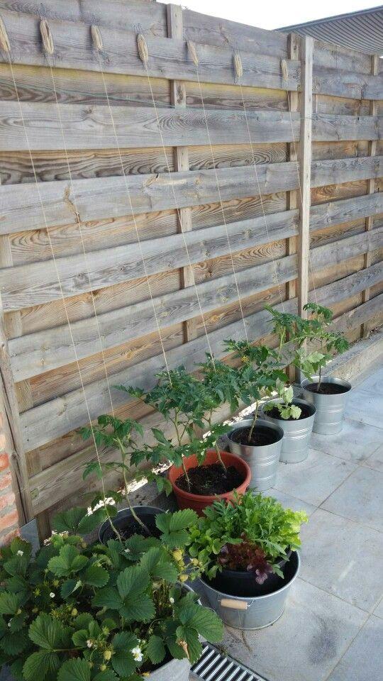 Tomaten van eigen kweek... Nog veel meer in/uit eigen moestuin! #Westlandse #Roots #Trots #Tomaten #PlukkieAl #S-haken Laten groeien langs touw die ballen...