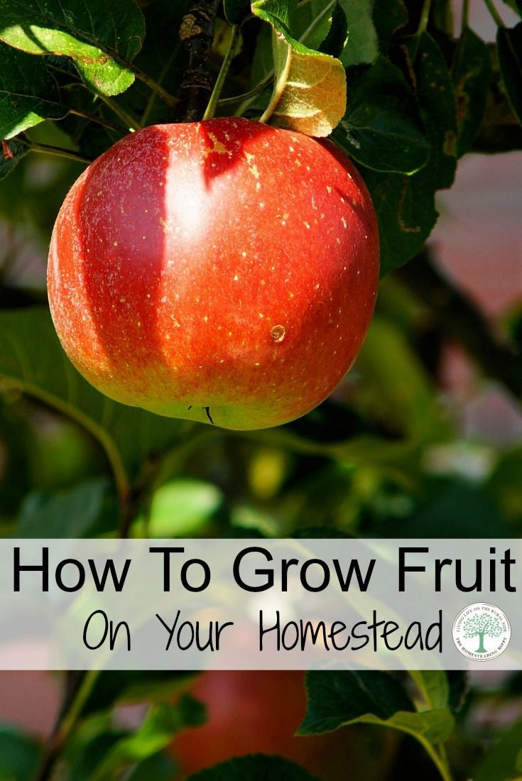 If you want to be more self sufficient, one step is by learning how to grow fruit on your homestead. The Homesteading Hippy via @homesteadhippy