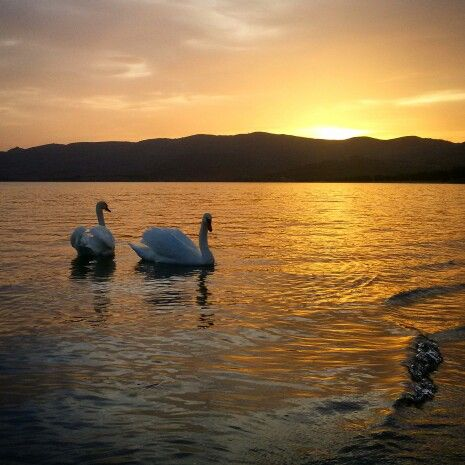 Two beautiful swans in love ♡