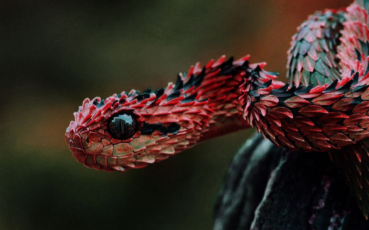 """""""Indonesian Autumn Adder"""" - This is a color manipulated Atheris hispida... from Central Africa."""