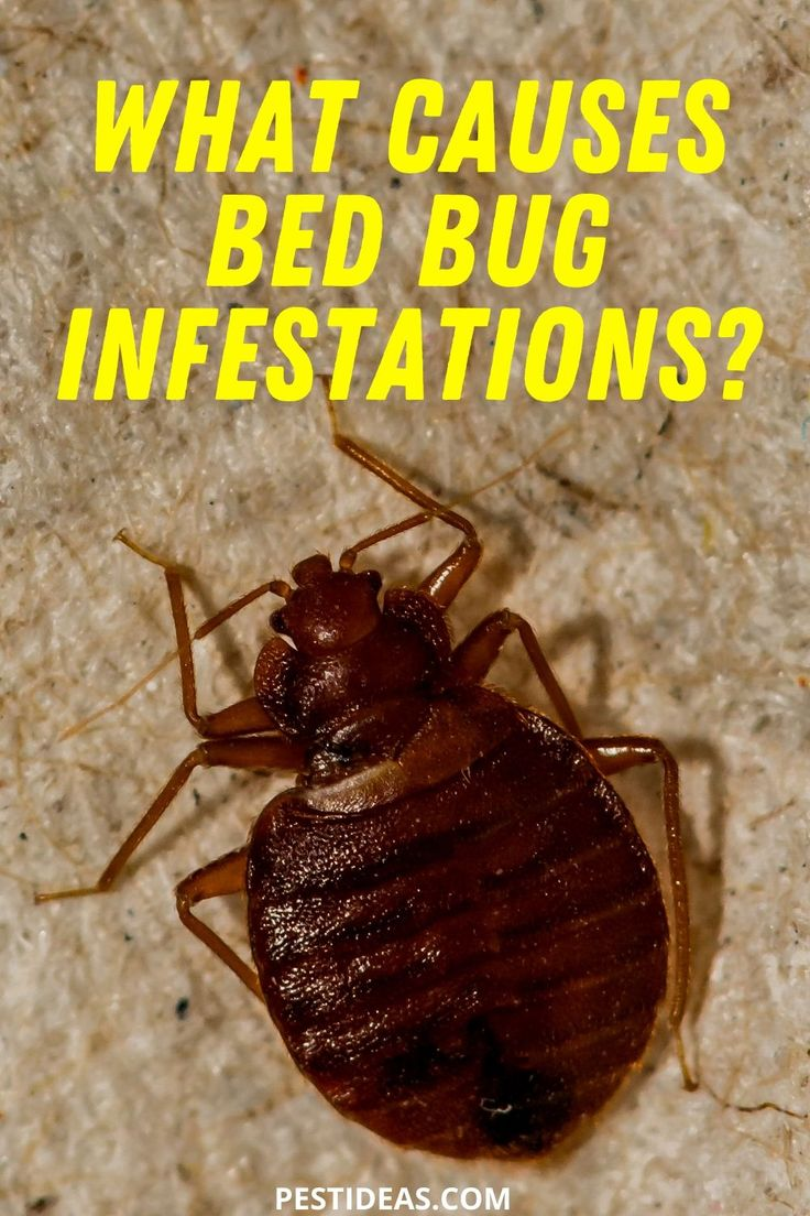 What Causes Bed Bug Infestations in 2020 Bed bugs