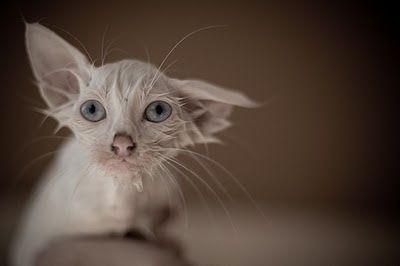 365 coisas que posso fazer...: 144 - Usar um anti-pulgas natural nas minhas gatas