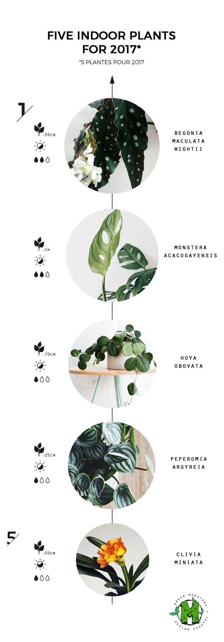 5 indoor plants  Begonia Maculata Wightii Monstera Acacogayensis Hoya Obovata Peperomia Agyreia Clivia Miniata