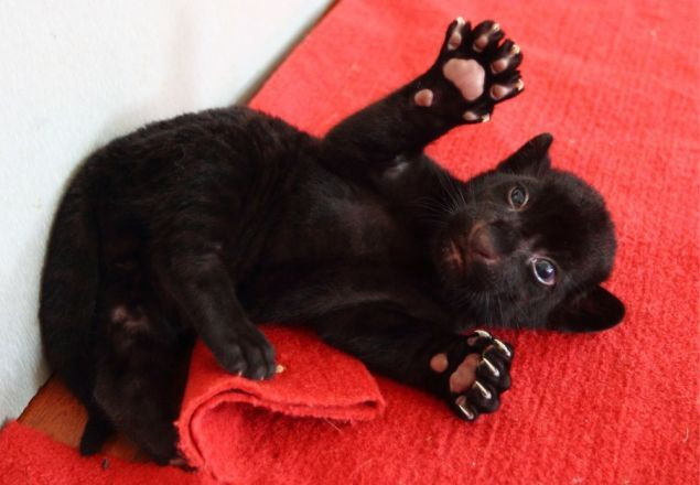 Black Tiger Cub Is Young, Rare, Super-Cute - Biology