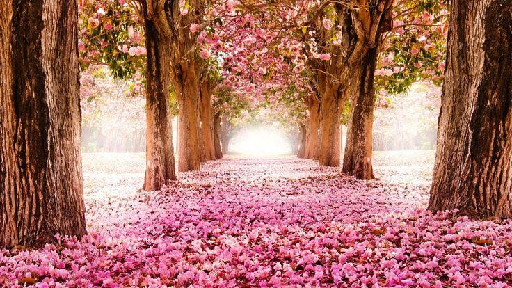 Gambar Bunga Sakura Rontok Di Akhir Musim Semi Projects To Try Pinterest