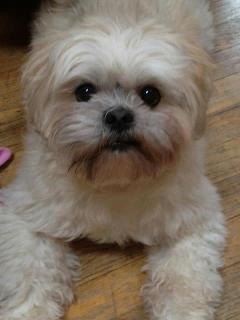 My Lhasa Apso Mickey