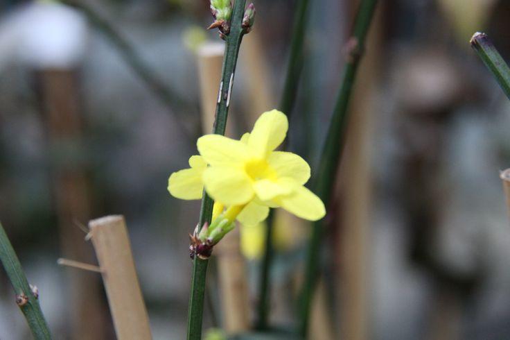 Close-up van jasminum