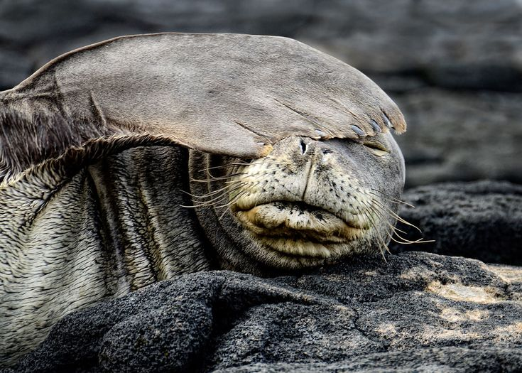 Hawaiian Monk Seal critically endangered species in 2020