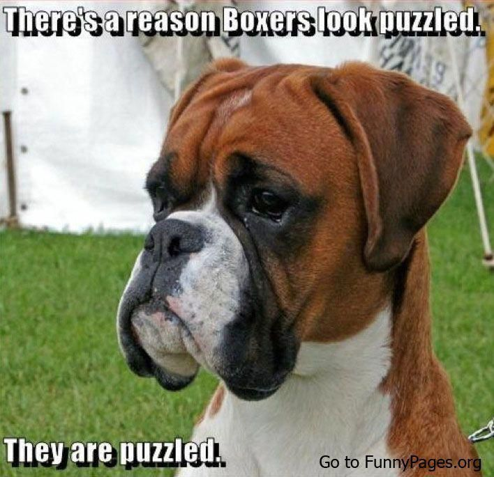 Funny Boxer Funny Humorous Boxers Are Puzzled Boxerdogshumor