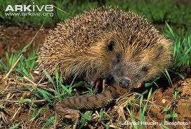 All About Hedgehogs - The Insects Eaters - Easy Science For Kids- they eat snakes too!