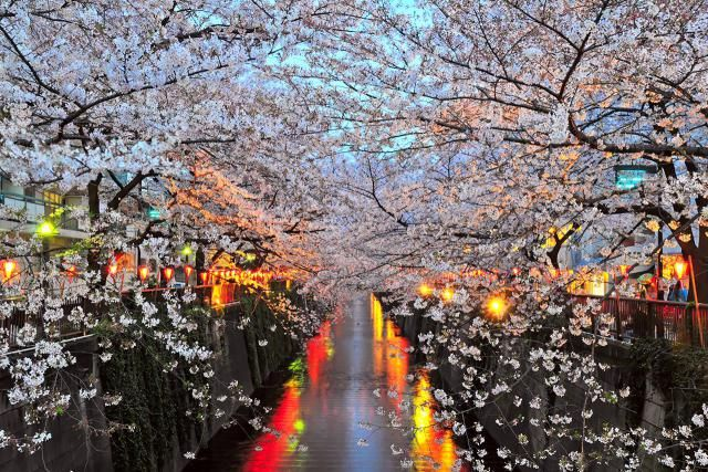 Describes when the best time to see cherry blossom in Japan is.