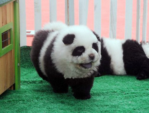 This Year's Hottest Pet Trend: Panda Dogs  ... see more at PetsLady.com ... The FUN site for Animal Lovers