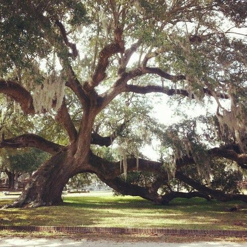 preppyinpink9:  southcarolinadove:  The 800 year old oak tree in Magnolia Cemetery, Charleston, SC  I've been here so many times :) my favorite tree