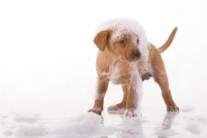 Comment faire du shampoing pour chien maison #chien #chiot