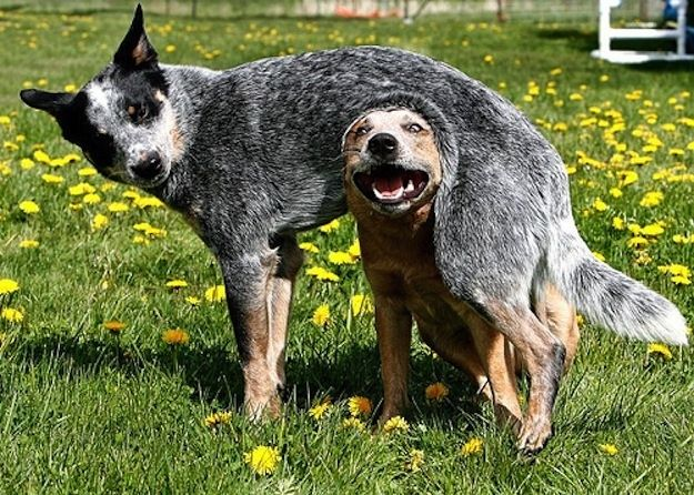 Resultado de imagen para heeler 犬 ボールのプール