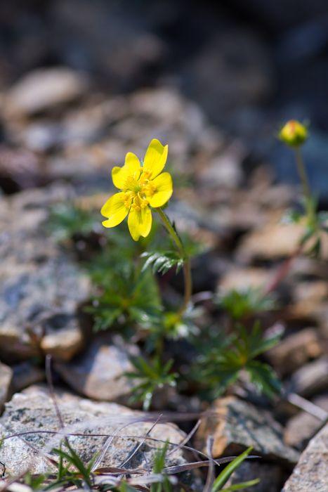 稜線上にはたくさんの花が咲き乱れています。北海道あポイ岳
