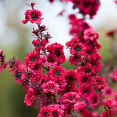 Leptospermum scoparium Winter Cheer - actually this one is a new zealander, but it's so beautiful I won't be pedantic