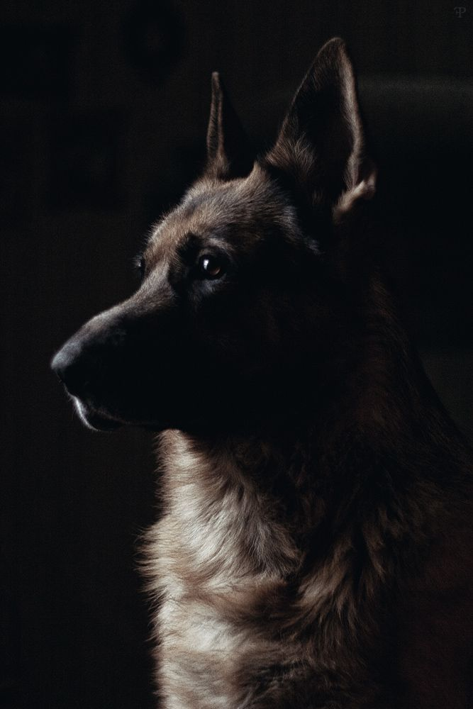 On the Dream List:  German Shepherd