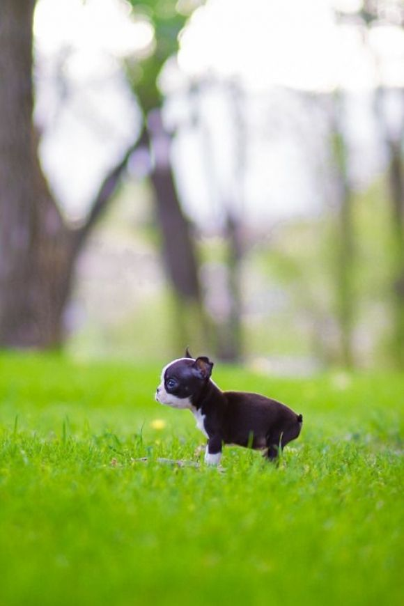 Itty Bitty Boston Terrier Puppy