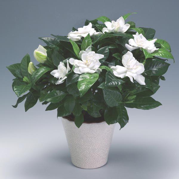The 25+ best Gardenia indoor ideas on Pinterest   Gardenia care ...