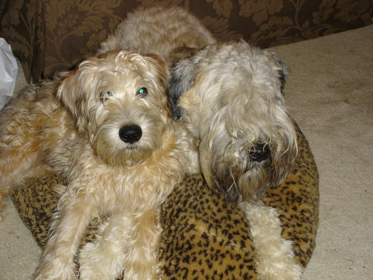 wheaten terrier rescue texas 13 best soft coated wheaten terrier rescue images on 2112