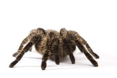 Life Span of a Pet Tarantula
