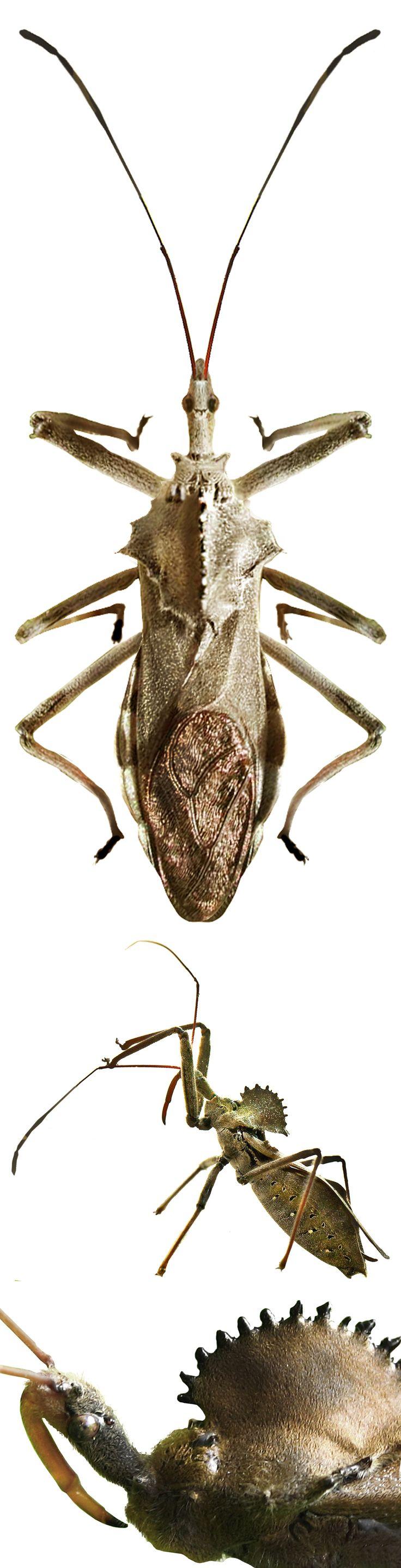 Arilus cristatus