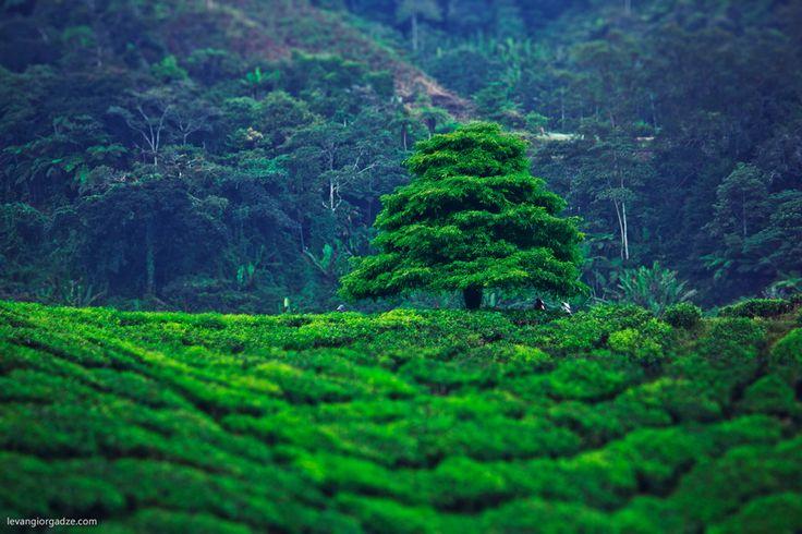 Tea Plantation, Cameron Highlands, Malaysia