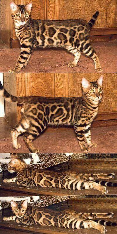 Bangle cat